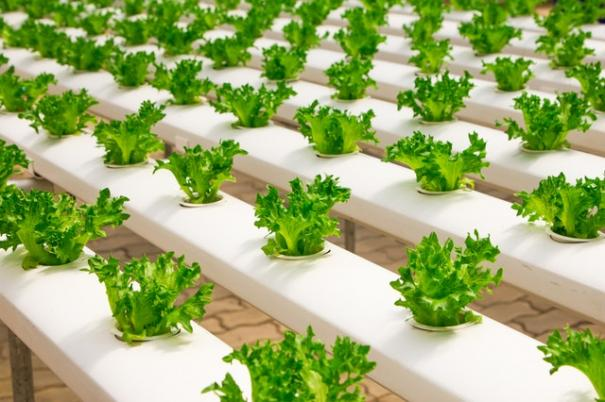 agriculture-basil-bunch-cultivation-348689